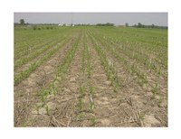 Twin-Row Corn Production: 2009 Research Update
