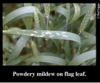 An Early Wheat Fungicide in the Absence of a Disease?