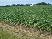 Effects of wind lodging on corn performance
