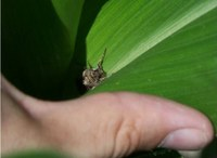 Status of Western Bean Cutworm in Ohio: Scout for Egg Masses
