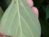 Watch Pre-Harvest Intervals if Spraying for Soybean Aphid