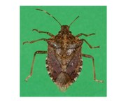 Reporting Web Site for Overwintering Brown Marmorated Stink Bug