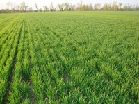 Concerns about Nitrogen Loss in Wheat