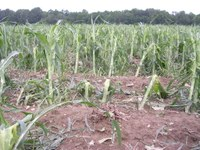 Hail damage to corn varies depending on growth stage