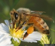 Generalist Pollinators and Soybeans