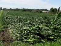 Wind Damage to Corn and Prognosis for Recovery