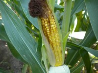 Corn Growth and Yield Potential: Impact of Recent Cool Weather