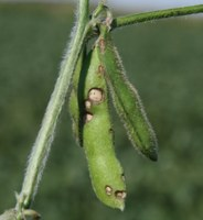Late Season Soybean Insects