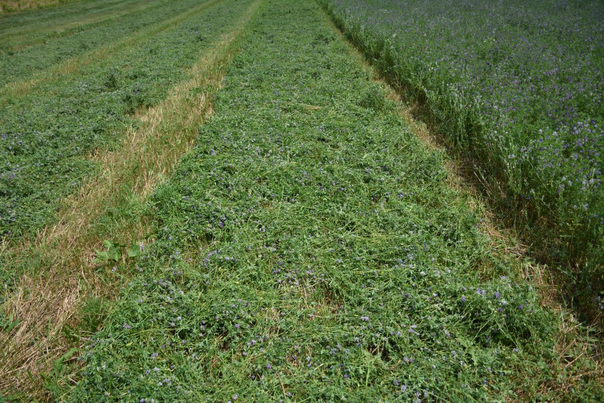 a windrow of hay drying