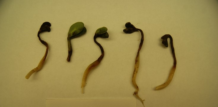 Fusarium graminearum Inoculated on the left
