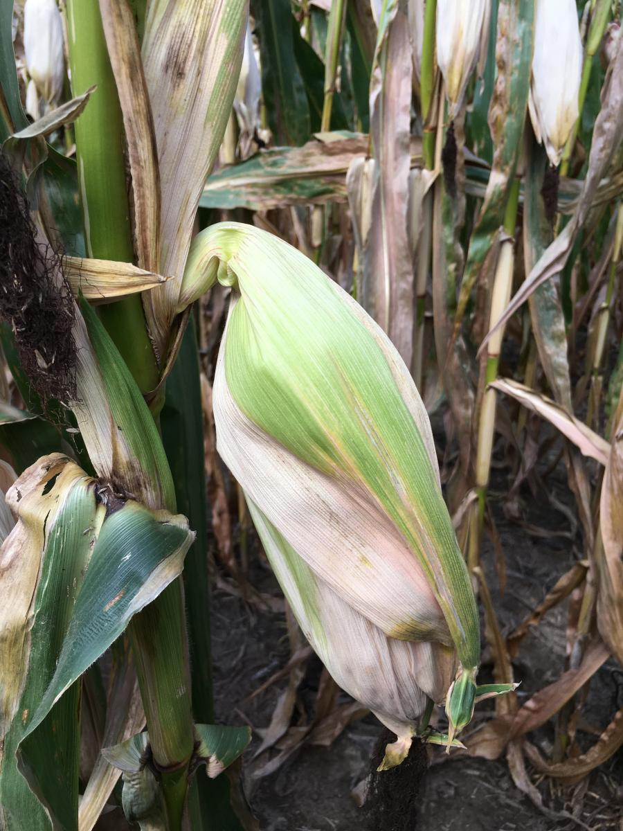 Fig. 3. Collapsed ear shanks resulting in drooping corn ears can lead to premature black layer and reduced yields.