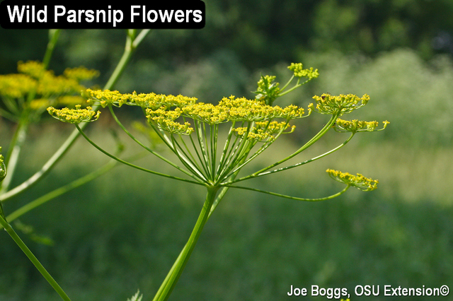 Wild Parsnip Flowers