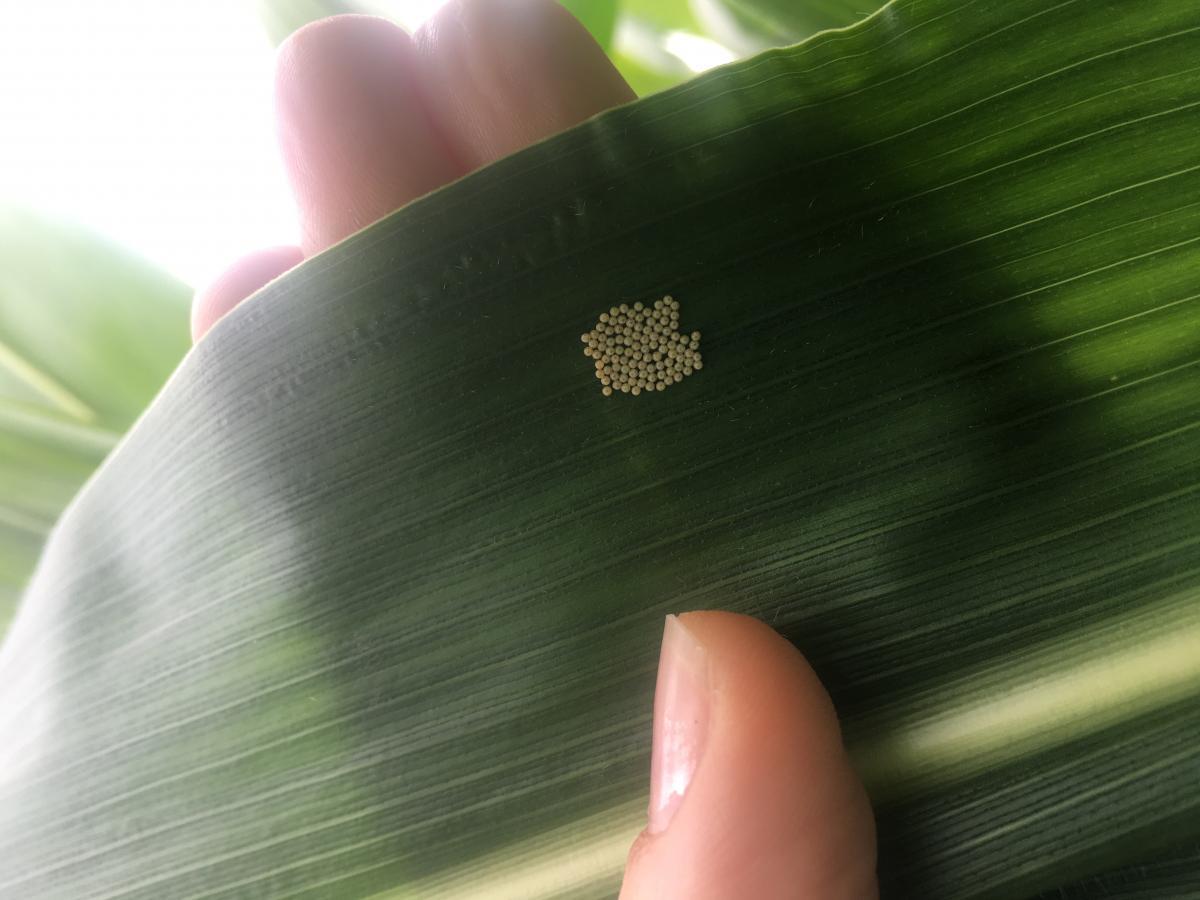 Figure 2. Western bean cutworm egg mass on corn leaf.