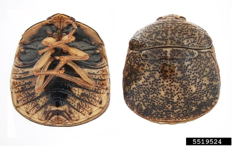 Figure 1. From left to right: left: adult image of kudzu bug (Emilie Bess, USDA APHIS PPQ, Bugwood.org)