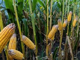 Moldy Field Corn
