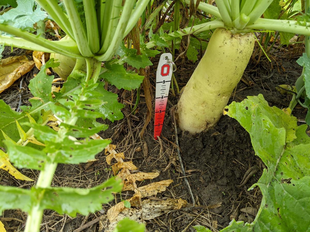 Radish as cover crop in November
