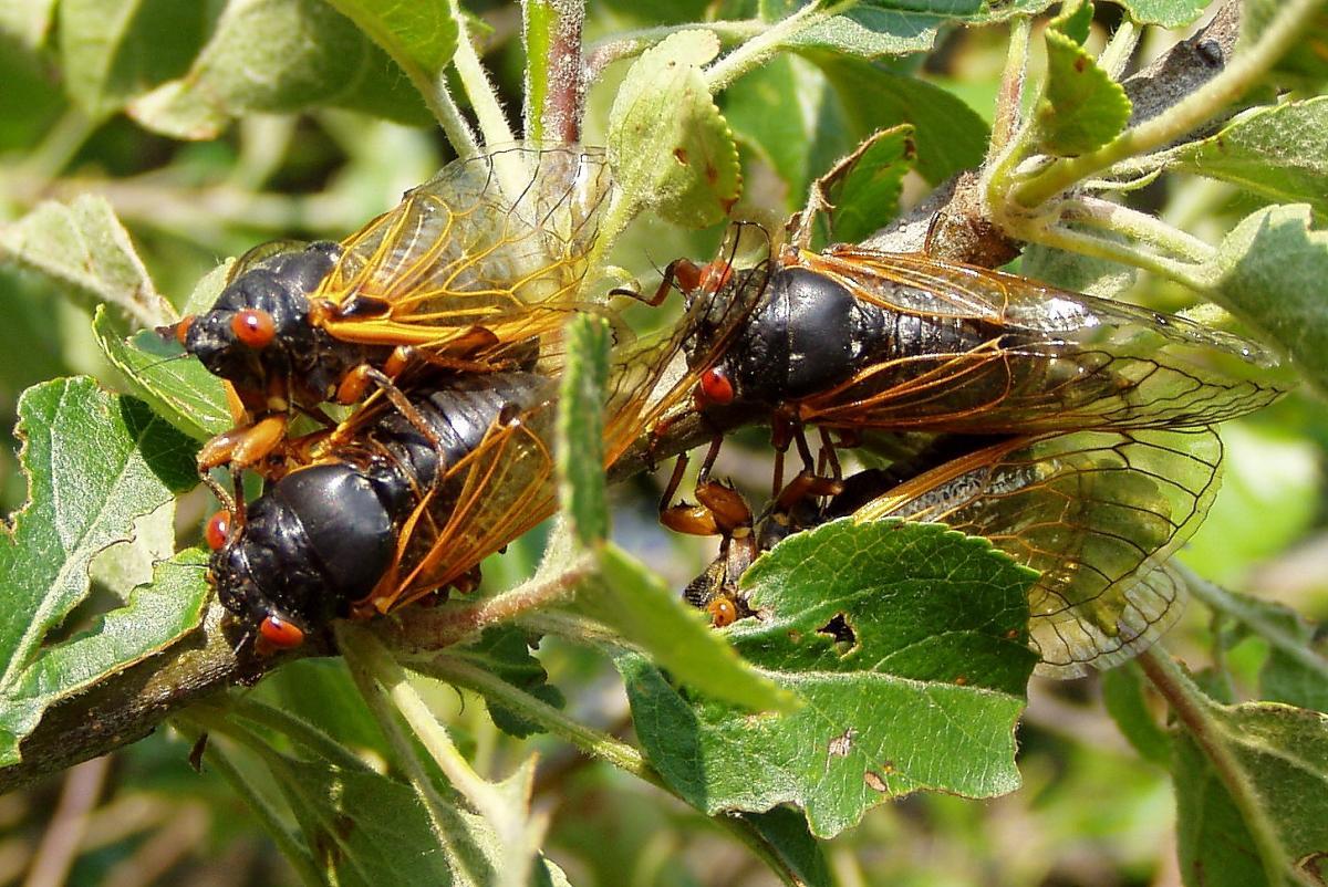 periodical cicadas