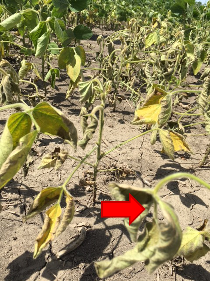 Flooding injury –   Large numbers of plants in low lying areas of field  Wilted appearance, some yellowing of leaves  Almost a shepherds hook appearance on the tops  New leaves on mildly affected plants were growing  Note grayish color on some of the older leaves.