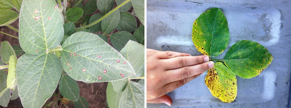 Figure 2. Frogeye leaf spot (left) and brown spot (right).