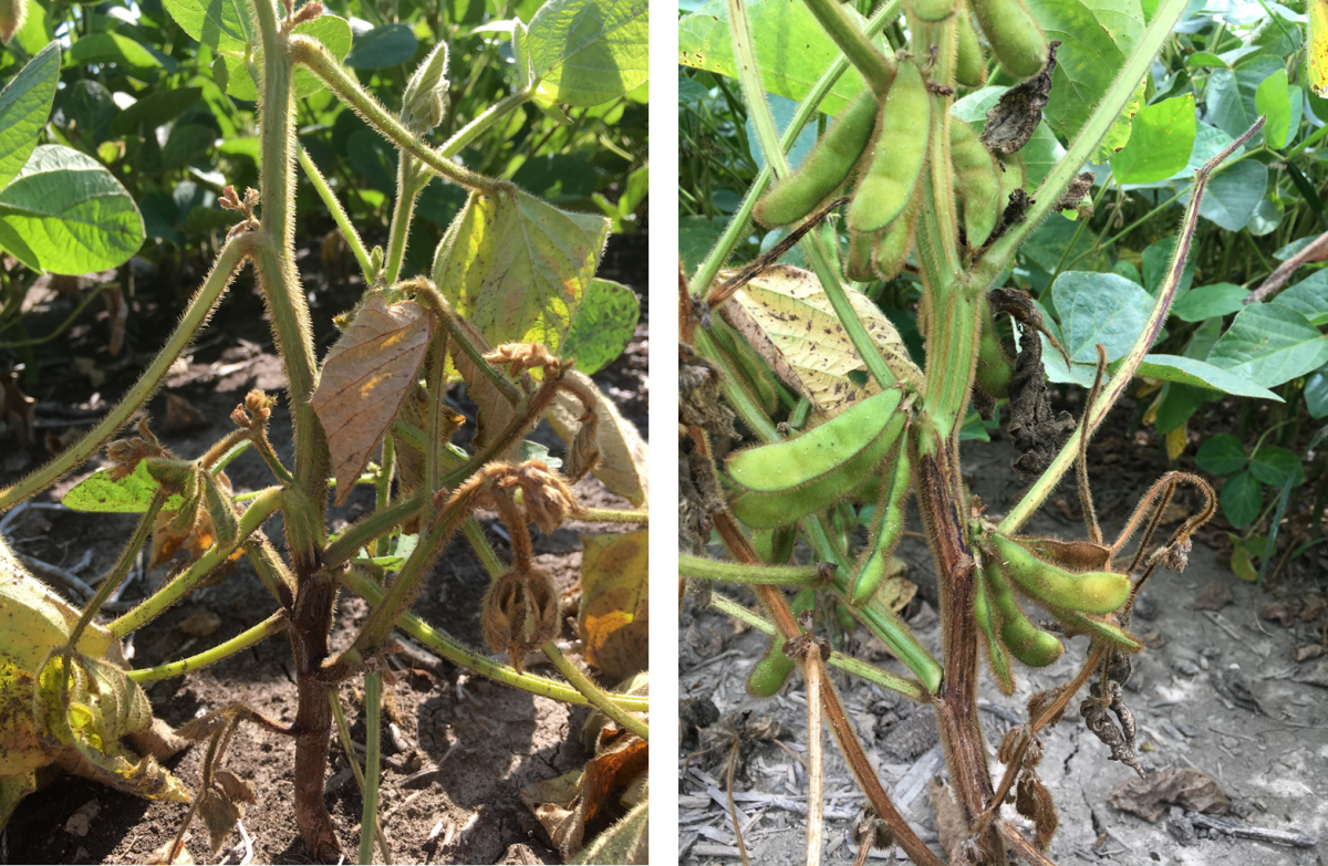 soybean plant showing symptoms of phytophthora stem rot