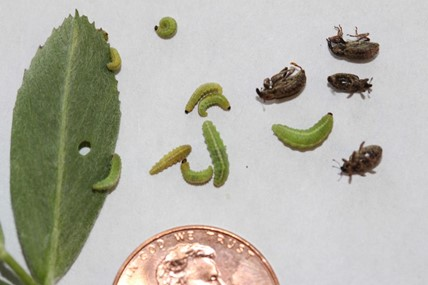 Green alfalfa weevil larvae (the main feeding stage) at various growth stages, and brown adults. Photo by Julie Peterson, University of Nebraska.