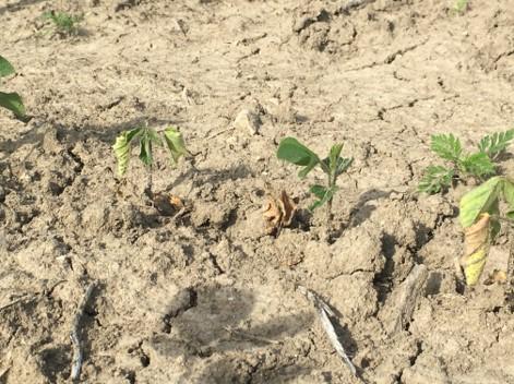 Seedling Blight on Soybeans