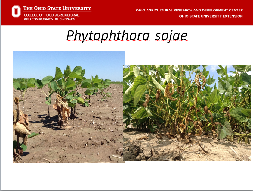 Early And Late Symptoms Of Phytophthora Damping Off And Phytophthora Stem  Rot On Highly Susceptible