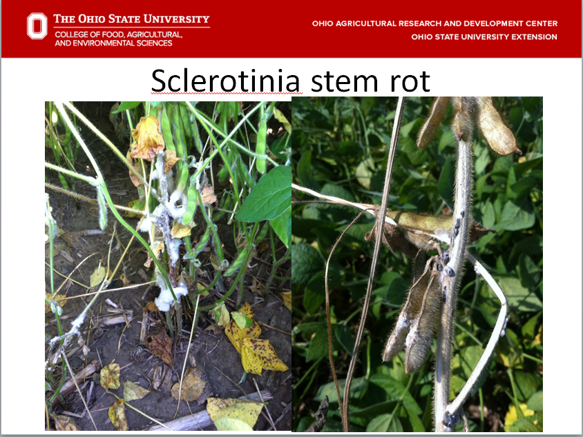 Early and late symptoms of Sclerotinia stem rot.  Picture on the right has large sclerotia visible on the main stem.  The sclerotia survive in the soil for several years and serve as inoculum for the coming year.
