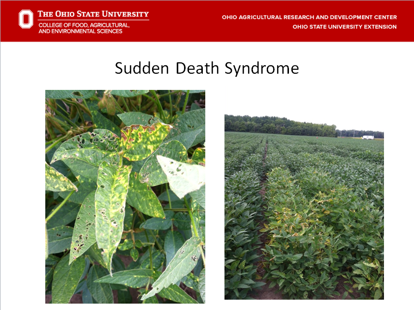 Symptoms of sudden death syndrome close up.  Picture on right is a susceptible variety with early symptoms.