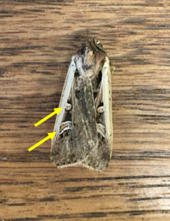 Figure 3. Adult Western bean cutworm moth. To identify, look for boomerang structure and dot on wings. Photo credit: Amy Raudenbush.