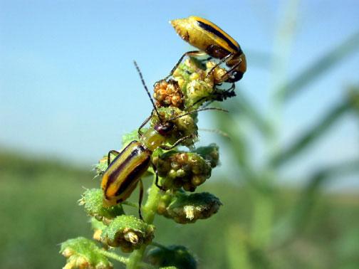Western Corn Rootworm feeding on weeds.