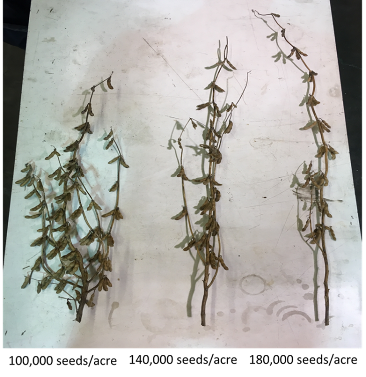 Figure 1. Soybean plants seeded at 100,000, 140,000, and 180,000 plants per acre. Photo credit: Will Hamman