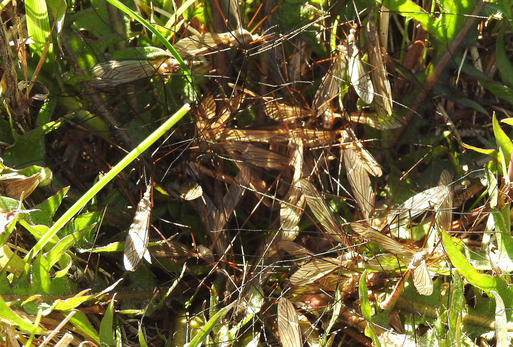 Mass of male crane flies searching for a mate.