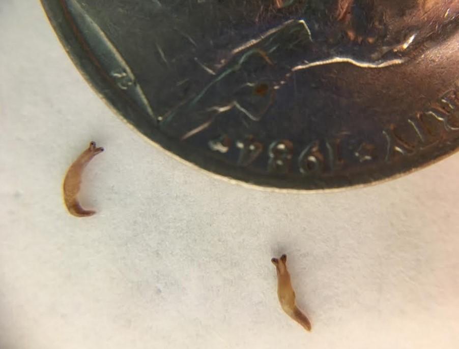 juvenile slugs