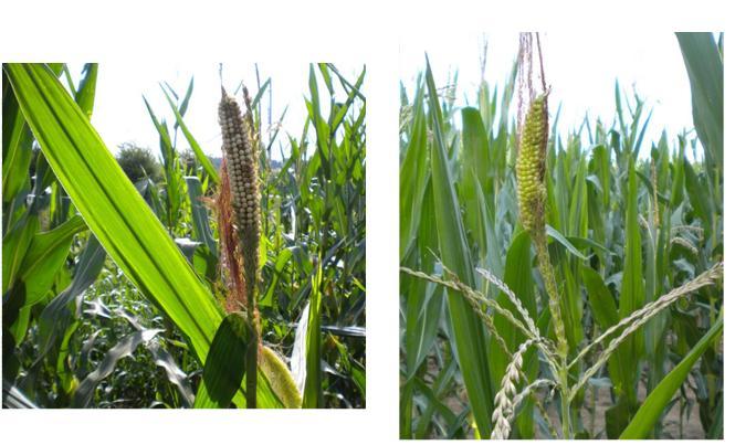 """""""Tassel Ears"""" in Corn"""