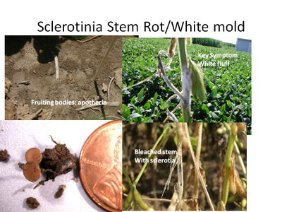 Sclerotinia stages