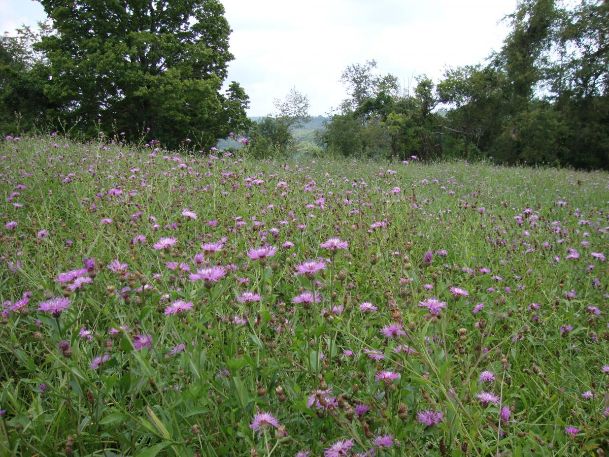 Hay Field with Spotted Knapweed