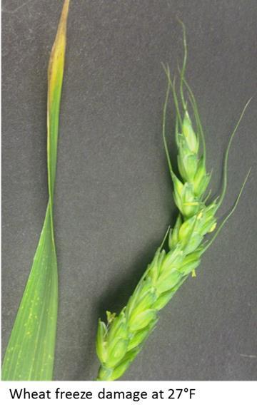 freeze damage on wheat