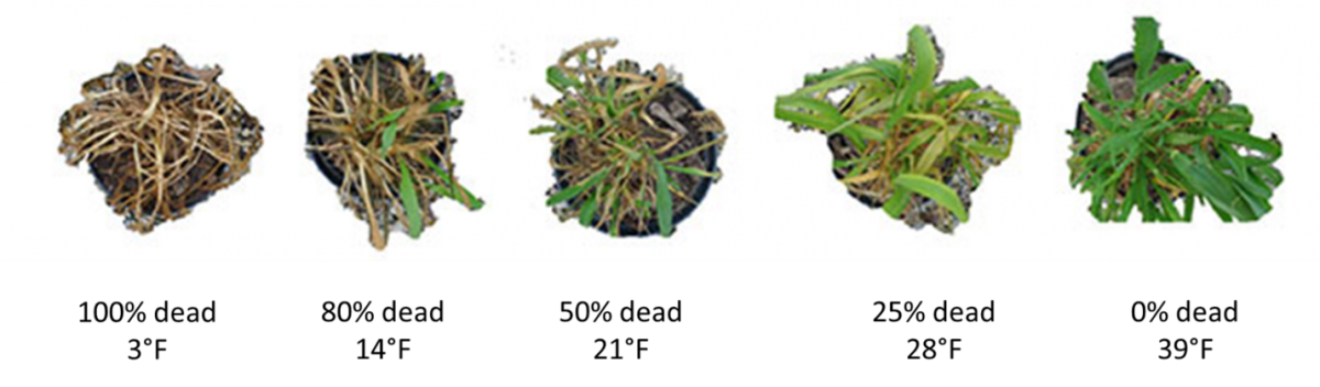 Figure 2. At Feekes 6 growth stage, freeze damage causes yellowing of browning (necrosis) of the leaf and stem tissue. Wheat plants pictured (left to right) were exposed to temperatures of 3, 14, 21, 28, and 39°F corresponding to death of 100%, 80%, 50%, 25%, and 0% death of the plant tissue.