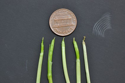 Figure 3. At Feekes 6 growth stage, freeze injury causes damage to forming wheat spike within the stem. Wheat spikes pictured (left to right) were exposed to 39, 28, 21, 14, and 3°F temperature treatments. At 3°F, the wheat spike appears discolored and deformed.
