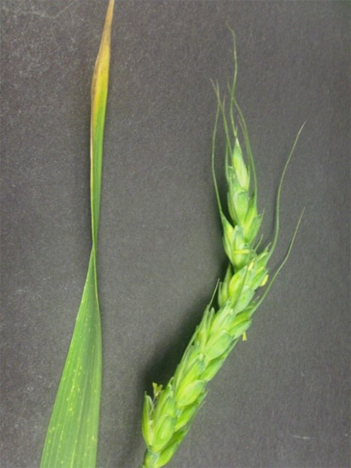 Figure 5. At Feekes 8 growth stage, damage may include yellowing or browning of the flag leaf. The wheat head may get stuck in the leaf sheath causing a crooked appearance at heading.