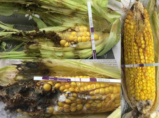 western bean cutworm damage and heavy feeding on cry1f