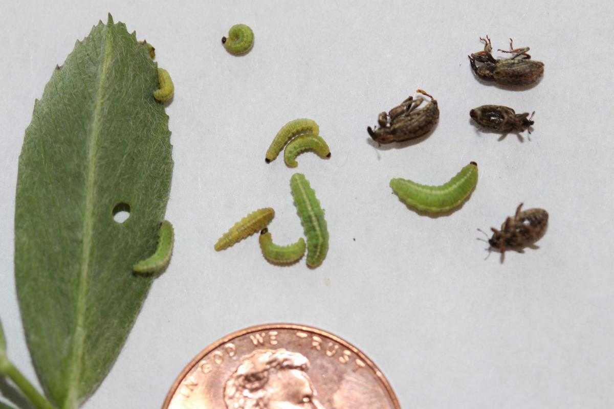 Alfalfa weevils