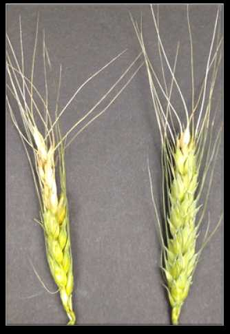 Bleached wheat spikelets