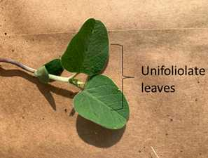 Stage VC - Definition: Fehr and Caviness (1977)- Unifoliolate leaves sufficiently unrolled, so the leaf edges are not touching Pederson (2009)- Unifoliolate leaves unrolled sufficiently, so the leaf edges are not touching