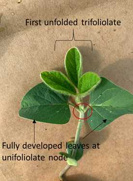 Stage V1 - Definition Fehr and Caviness (1977)-Fully developed leaves at unifoliolate nodes Pedersen (2009)- One set of unfolded trifoliolate leaves unrolled sufficiently, so the leaf edges are not touching