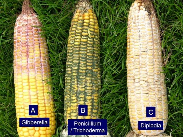 Corn Ear Rots: Identification, Quantification and Testing for ...
