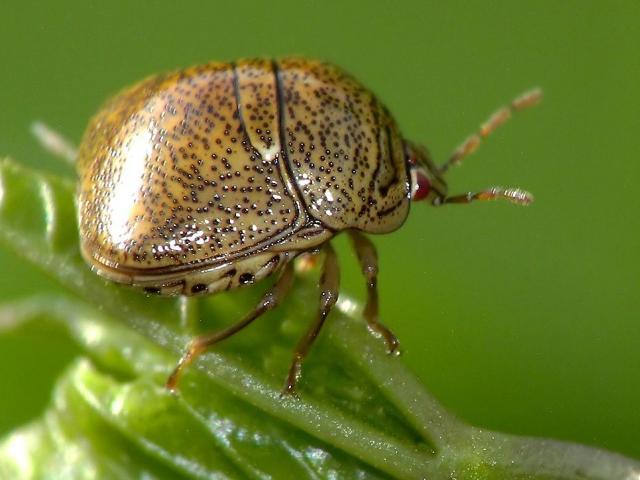 Kudzu Bug Monitoring Update | Agronomic Crops Network