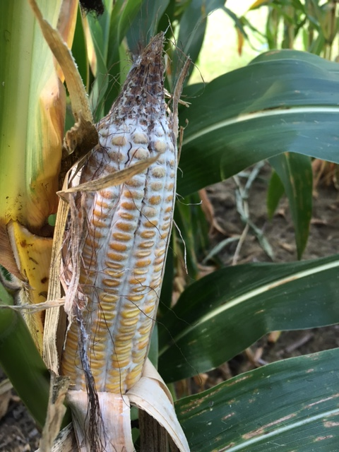 Diplodia Ear Rot | Agronomic Crops Network