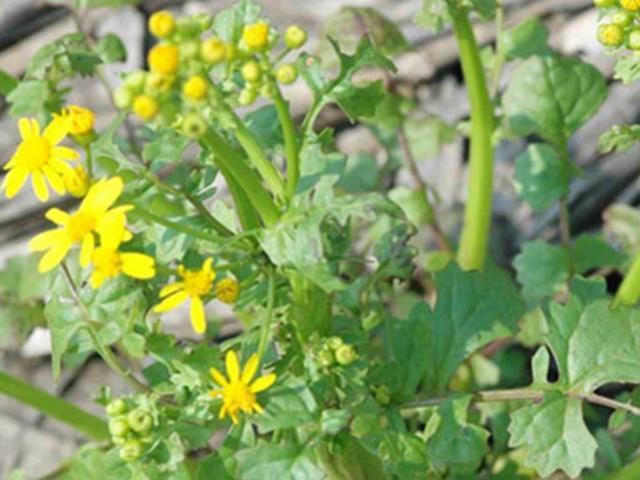 Cressleaf groundsel the ubiquitous yellow weed agronomic crops cressleaf groundsel the ubiquitous yellow weed mightylinksfo